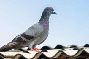 Pigeon Pest, Pest Control in Grays, Badgers Dene, RM17. Call Now 020 8166 9746