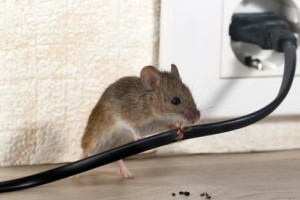 Mice Control, Pest Control in Grays, Badgers Dene, RM17. Call Now 020 8166 9746