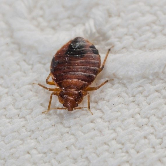 Bed Bugs, Pest Control in Grays, Badgers Dene, RM17. Call Now! 020 8166 9746