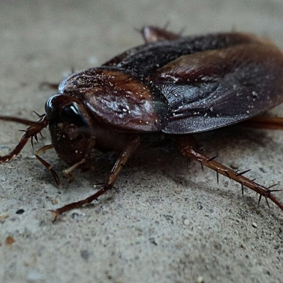 Cockroaches, Pest Control in Grays, Badgers Dene, RM17. Call Now! 020 8166 9746