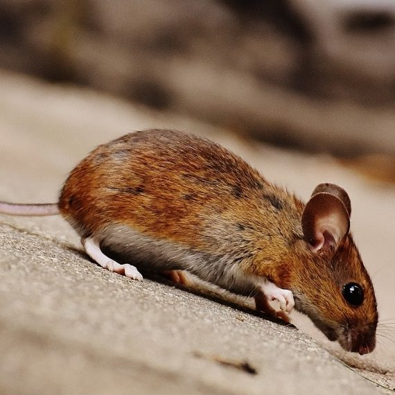 Mice, Pest Control in Grays, Badgers Dene, RM17. Call Now! 020 8166 9746