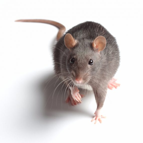 Rats, Pest Control in Grays, Badgers Dene, RM17. Call Now! 020 8166 9746