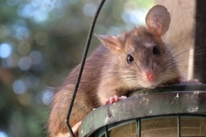 Rat extermination, Pest Control in Grays, Badgers Dene, RM17. Call Now 020 8166 9746
